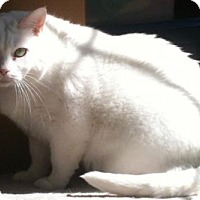 Domestic Shorthair Cat for adoption in Crescent, Oklahoma - Angel