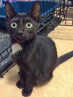 Domestic Shorthair Kitten for adoption in Sunny Isles Beach, Florida - Duke & Annie