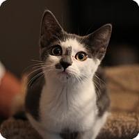 Adopt A Pet :: Yin - Richmond, VA