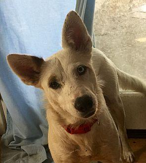 Husky/Labrador Retriever Mix Dog for adoption in Long Beach, California - Hazel