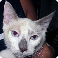 Adopt A Pet :: Gem: Lilac Point Siamese Kitten - Brooklyn, NY