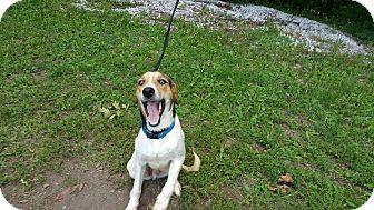 Beagle Mix Dog for adoption in Marion, Indiana - tiny