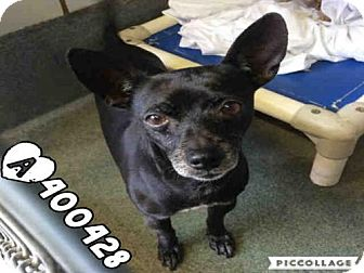 Chihuahua Mix Dog for adoption in San Antonio, Texas - MOESY