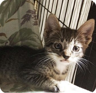 Domestic Shorthair Kitten for adoption in Metairie, Louisiana - Sterling