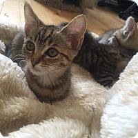 Adopt A Pet :: Tinker - Glendale, AZ