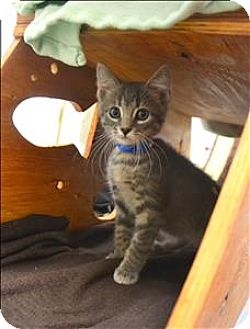 Domestic Shorthair Kitten for adoption in Delaware, Ohio - Smokey