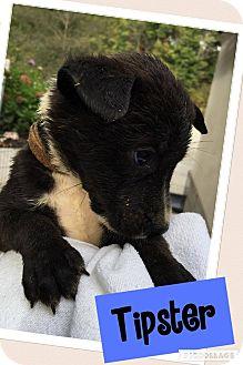 Labrador Retriever Mix Puppy for adoption in Brattleboro, Vermont - Tipster