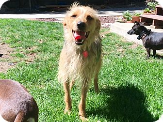 Terrier (Unknown Type, Small)/Yorkie, Yorkshire Terrier Mix Dog for adoption in Yorba Linda, California - Smokey- great all around dog!