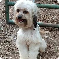 Lhasa Apso Mix Dog for adoption in Monroe, Georgia - Bella