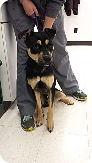 Shepherd (Unknown Type)/Labrador Retriever Mix Dog for adoption in Sherman, Connecticut - Boone