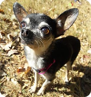 Chihuahua Mix Dog for adoption in Brownsboro, Alabama - Piccolo