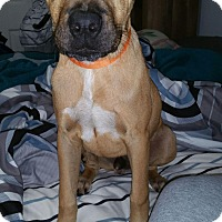 Adopt A Pet :: Jase 1meet me 12/16 - Manchester, CT