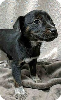 Hound (Unknown Type) Mix Puppy for adoption in Gahanna, Ohio - ADOPTED!!!   Helga