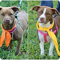 Adopt A Pet :: Abi and Cali - Ft. Lauderdale, FL