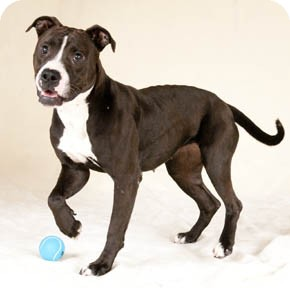 alana adopted dog chicago il american staffordshire