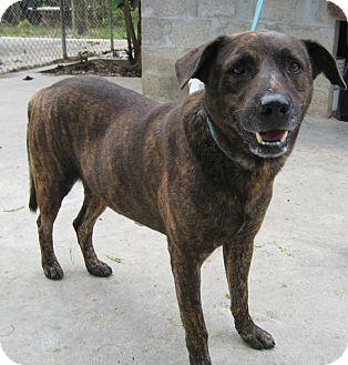 Labrador Retriever/Shepherd (Unknown Type) Mix Dog for adoption in Key Biscayne, Florida - Key