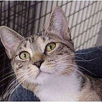 Domestic Shorthair Cat for adoption in Deerfield Beach, Florida - Clover