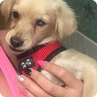 Adopt A Pet :: Piper - Las Vegas, NV