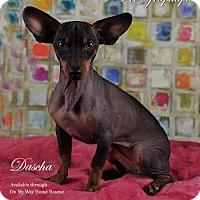 Adopt A Pet :: Dascha - Henderson, NV