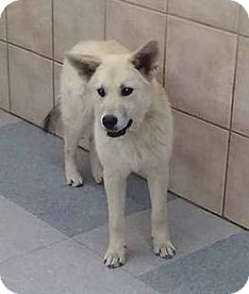 Siberian Husky/German Shepherd Dog Mix Puppy for adoption in Apache Junction, Arizona - KODI