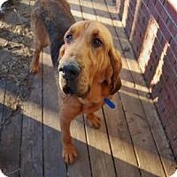 Adopt A Pet :: Henry Stapleton - Thompson's Station, TN