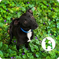 Adopt A Pet :: Whoopie - Enfield, CT