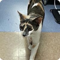 Domestic Shorthair Cat for adoption in Chesapeake, Virginia - Judy