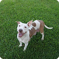 Adopt A Pet :: Shadow - Fort Worth, TX