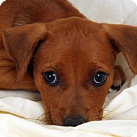 Adopt A Pet :: Andre Labmix - St. Louis, MO