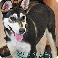 Adopt A Pet :: Wasabi - Carrollton, TX