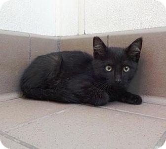 Domestic Shorthair Cat for adoption in Lathrop, California - Zeus