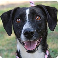 Adopt A Pet :: BRISTOL:Spayed. Low Fees - Red Bluff, CA