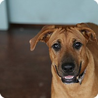 Boxer Mix Puppy for adoption in San Antonio, Texas - Bleu