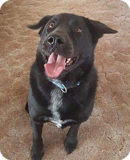 Labrador Retriever/Chow Chow Mix Dog for adoption in Mission viejo, California - Shadow