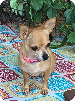 Chihuahua Mix Dog for adoption in Dallas, Texas - Carrie