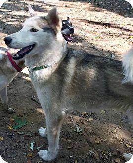Siberian Husky Dog for adoption in Memphis, Tennessee - BlaZe ~ Sweet!