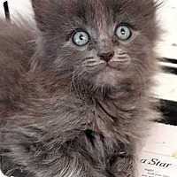 Adopt A Pet :: Star - Key Largo, FL
