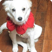 Adopt A Pet :: Snowy - Trenton, NJ