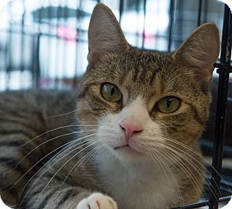 Domestic Shorthair Cat for adoption in New York, New York - Dil