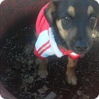 Adopt A Pet :: Scrappy - El Cajon, CA