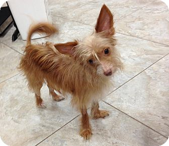 chinese crested terrier rhett adopted dog wellington fl chinese crested 3207