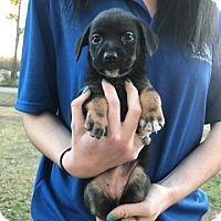 Adopt A Pet :: Kiki - Springfield, VA
