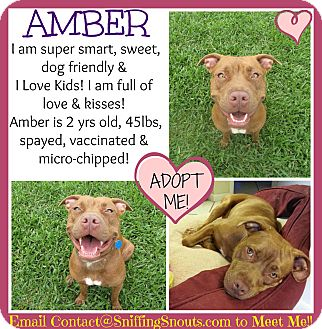 American Pit Bull Terrier Mix Dog for adoption in Orlando, Florida - Amber