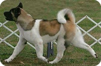 Akita Dog for adoption in Toms River, New Jersey - Molly, Courtesy Listing