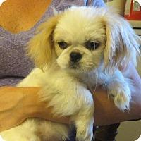 Adopt A Pet :: Ming Toy - Westport, CT