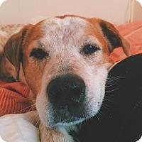 Adopt A Pet :: Bonnie Blue--my adoption fee is sponsored! - Chicago, IL