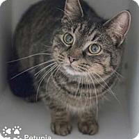 Adopt A Pet :: Petunia - Merrifield, VA