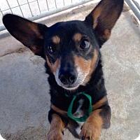 Adopt A Pet :: RINGO - Coudersport, PA