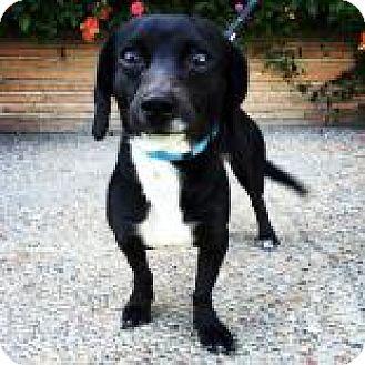 Dachshund/Chihuahua Mix Dog for adoption in Santa Cruz, California - Didi