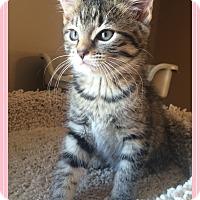 Adopt A Pet :: Hebony - Mt. Prospect, IL